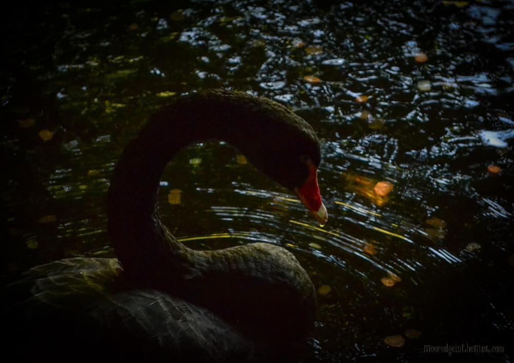 Black Swan, Leeds Castle © Bryony Whistlecraft | MooredgeintheMist.com