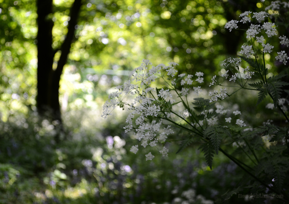 Cow Parsley © Bryony Whistlecraft | MooredgeintheMist.com