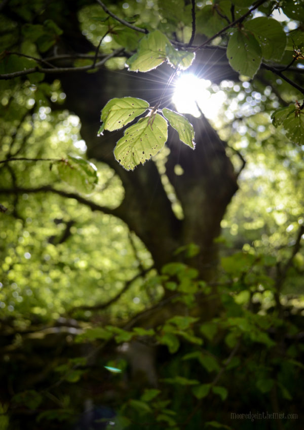 Leaf Light, spring sunshine © Bryony Whistlecraft | MooredgeintheMist.com