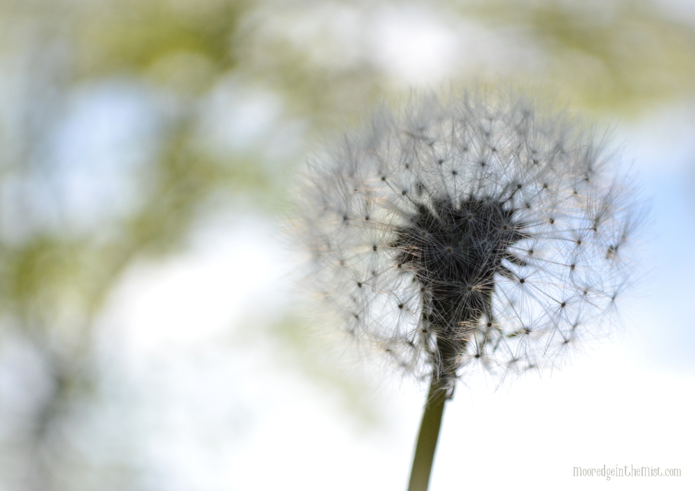 Make A Wish, dandelion © Bryony Whistlecraft | MooredgeintheMist.com