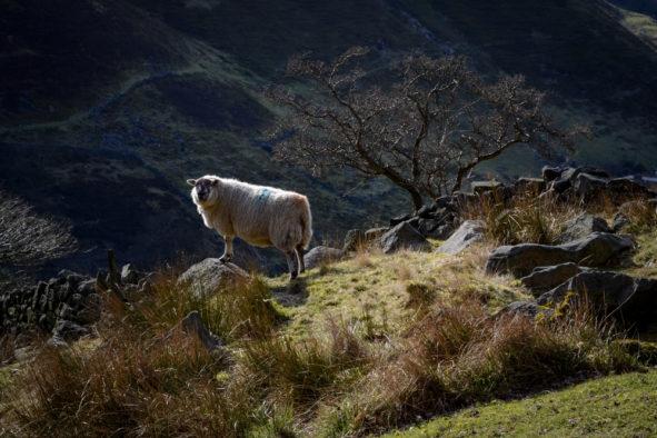 Sheep, Yorkshire Pennine moorland © Bryony Whistlecraft | MooredgeintheMist.com
