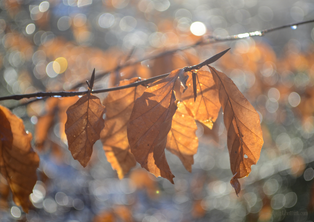Shine A Light, Autumn sunlit leaves © Bryony Whistlecraft | MooredgeintheMist.com