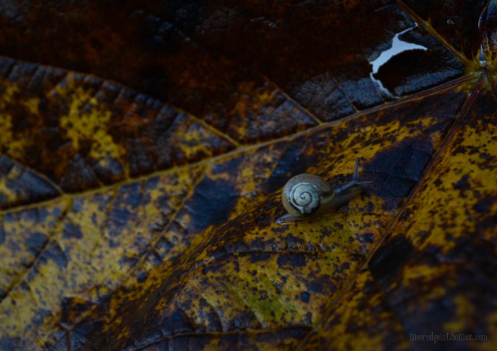 Autumn Snail © Bryony Whistlecraft | MooredgeintheMist.com