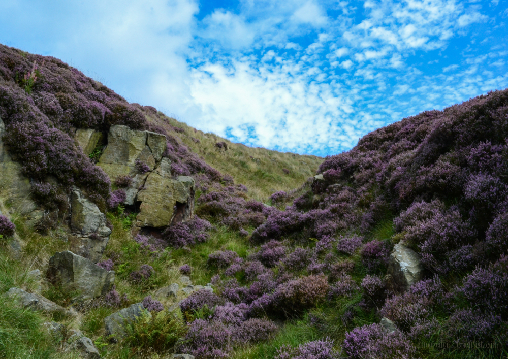 Mead Hollow, heather in bloom, Todmorden (Calderdale, Yorkshire) © Bryony Whistlecraft | MooredgeintheMist.com