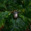 Enchanted Acorn Pin, on oak leaves © Bryony Whistlecraft | MooredgeintheMist.com