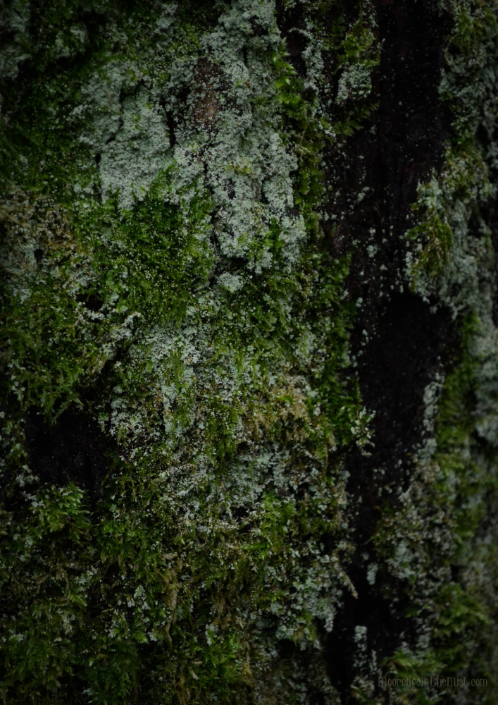 The Woods in Winter: Moss and Lichen, Tree Bark © Bryony Whistlecraft | MooredgeintheMist.com