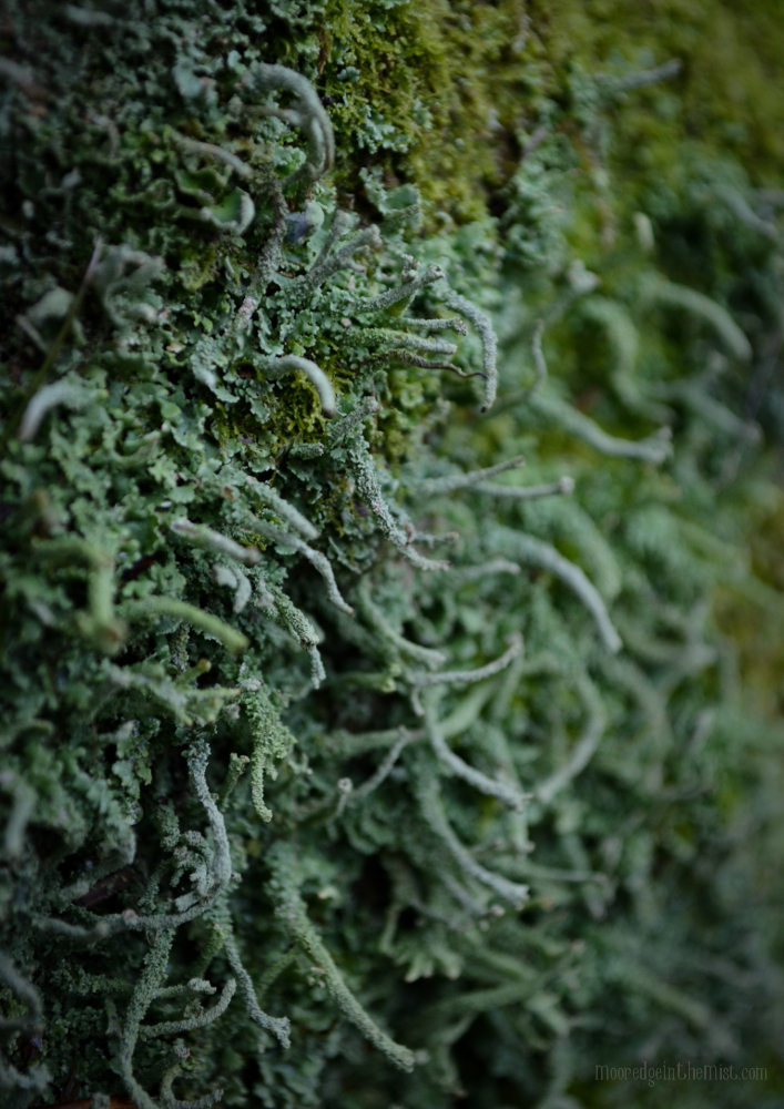 The Woods in Winter: Moss and Lichen © Bryony Whistlecraft | MooredgeintheMist.com