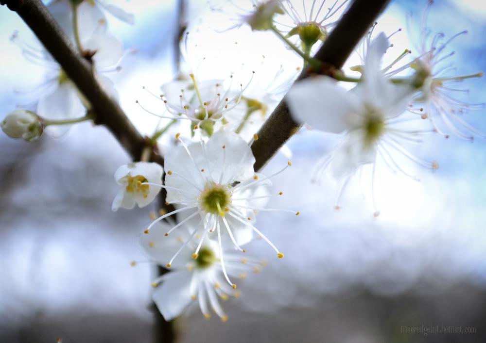 Spring Equinox, Blackthorn Blossom © Bryony Whistlecraft | MooredgeintheMist.com