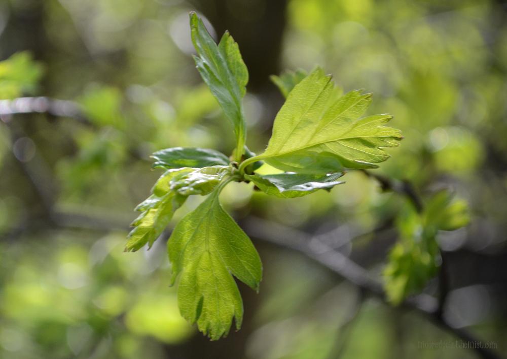 Spring Equinox, Hawthorn Leaves © Bryony Whistlecraft | MooredgeintheMist.com
