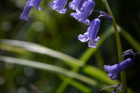 May Day Bluebells © Bryony Whistlecraft | MooredgeintheMist.com