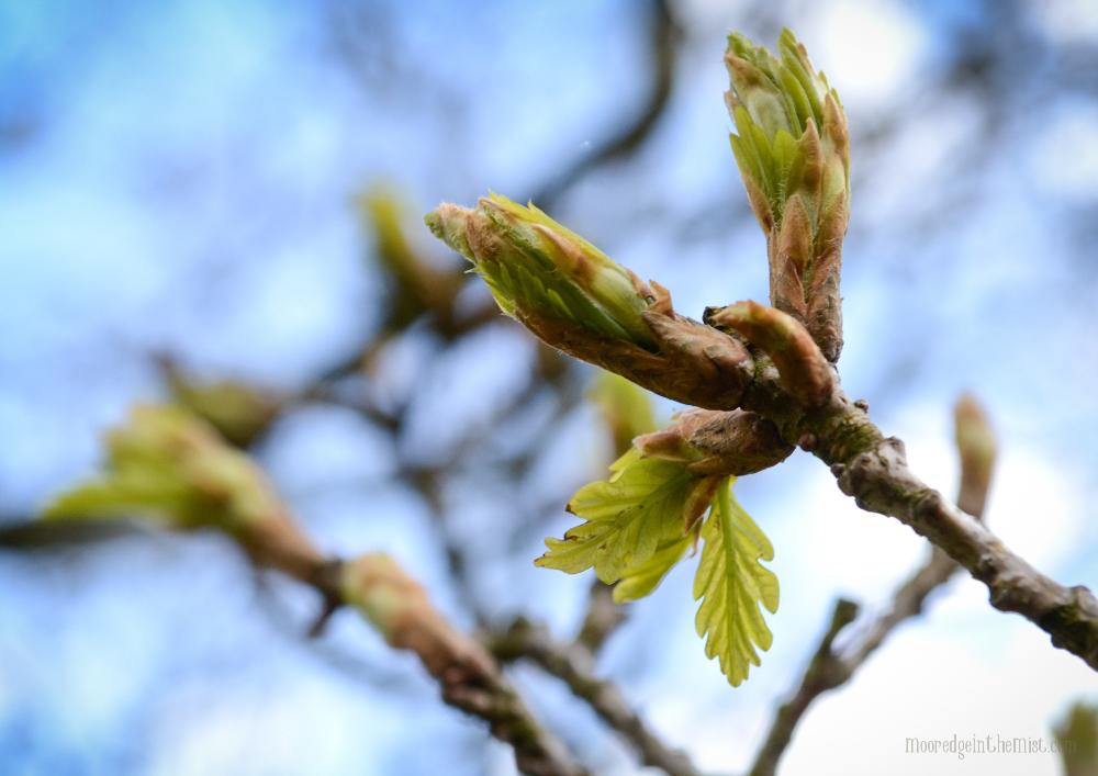 May Day Unfurling Oak Leaf © Bryony Whistlecraft | MooredgeintheMist.com