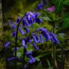 Bluebell A5 Print © Bryony Whistlecraft | MooredgeintheMist.com